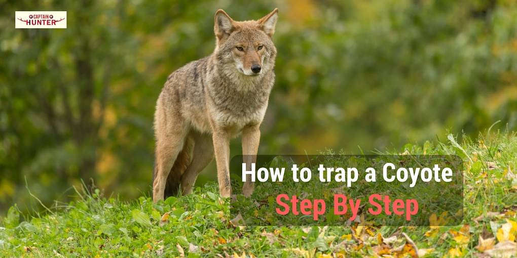 how to trap a coyote