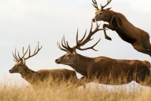 red deer males running together - why hunting is good