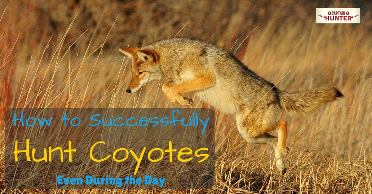 How to Successfully Hunt Coyotes Even During the Day