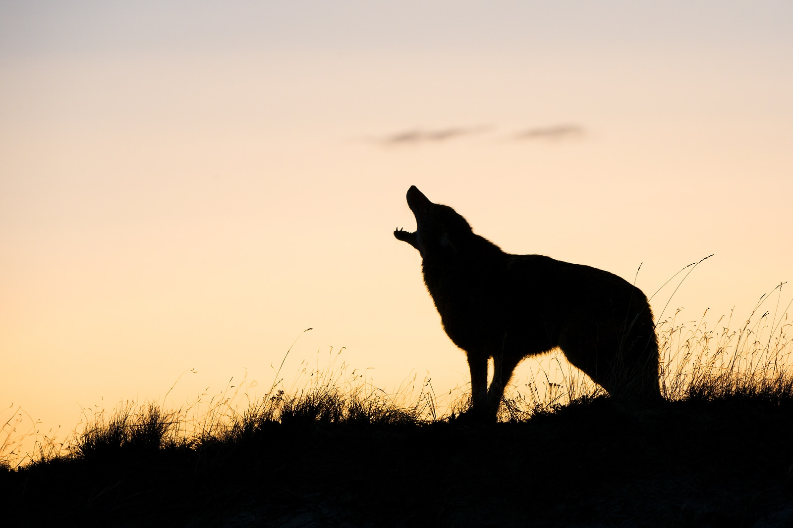 coyote howl alone mean