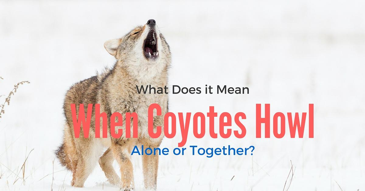 what does it mean when coyotes howl