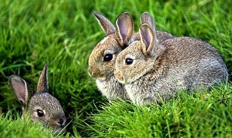 A group of wild rabbits