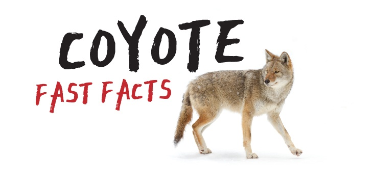 Coyote Fast Facts