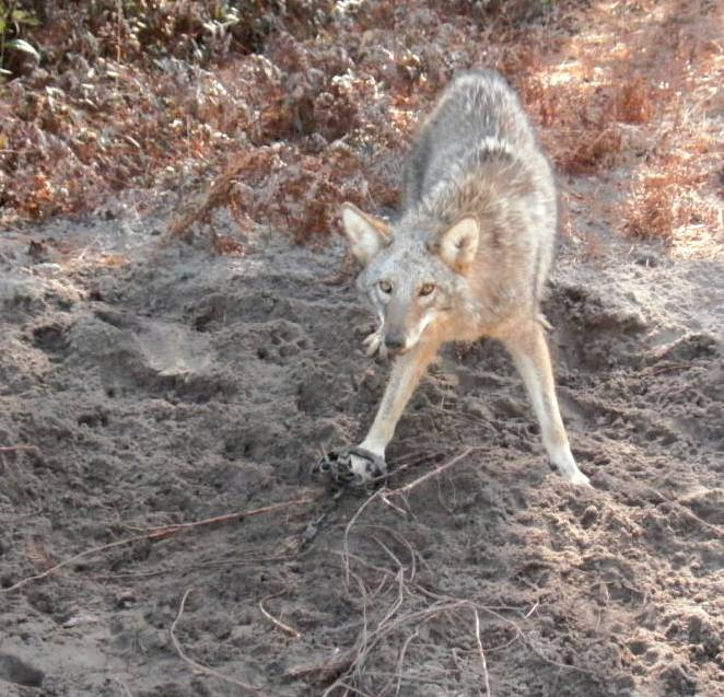 Coyote caught in a trap - Photo credit: qdma.com