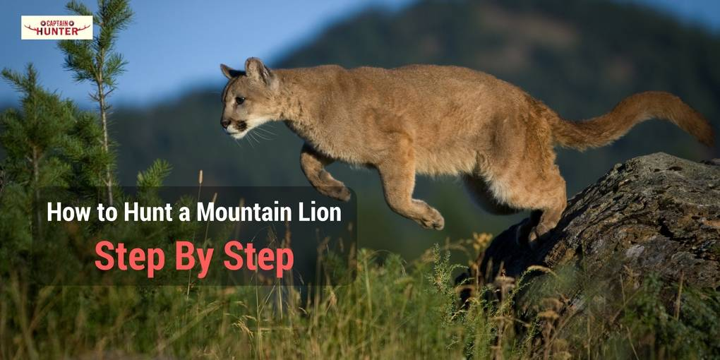 how to hunt a mountain lion