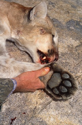 A mountain lion's paw
