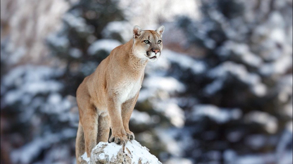 A mountain lion's paw - Photo credit: Sinclairstoryline.com