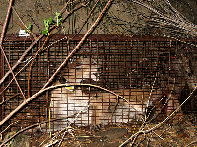 A mountain lion trapped in a cage