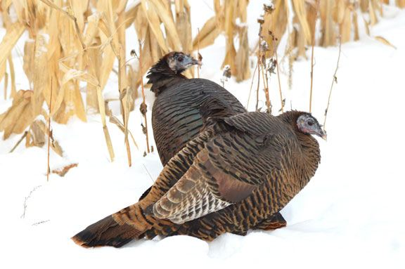 How Long Do Wild Turkeys Live?