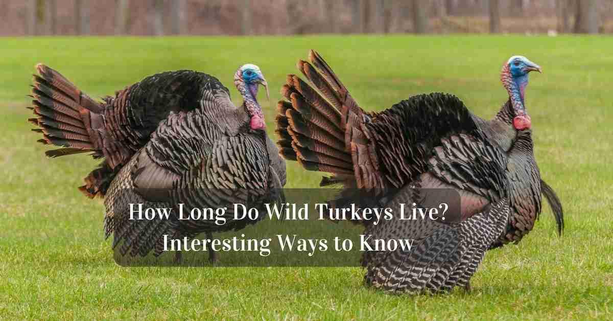 How Long Do Wild Turkeys Live?
