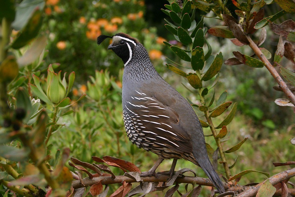 quail standby at the tree branch